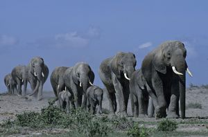 African Elephant herd with young walking