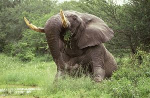 African Elephant - Sitting in the middle of the track feeding on grass