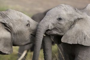African Elephant - youngsters playing