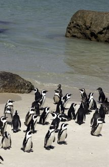 African / Jackass penguins on the beach