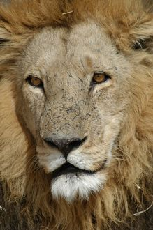 African Lion - Portrait of male