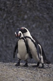African Penguin - Two together