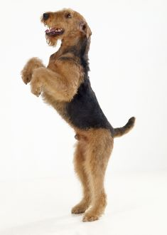 Airedale Terrier Dog - on hind legs