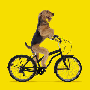 Airedale Terrier Dog, riding bicycle