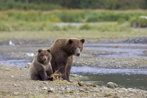 Alaskan Brown Bear - adult with young