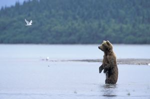 Alaskan Brown Bear - female fishing