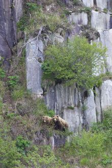 Alaskan Brown Bear - mother and 2yr old cub