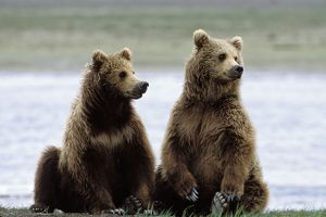 Alaskan Brown Bear - sub-adults