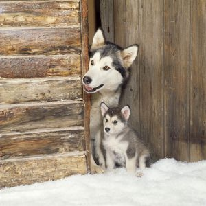 Alaskan Malamute Dog - adult with puppy at log cabin door