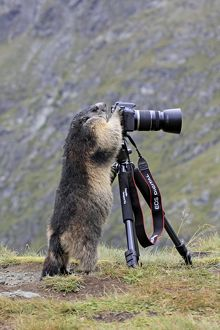 Alpine Marmot - standing up at camera on tripod