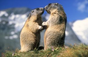 Alpine MARMOTS - X2 facing each other
