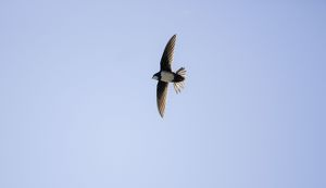 Alpine Swift in flight