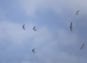 Alpine Swifts in flight