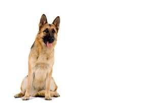 Alsatian / German Shepherd Dog
