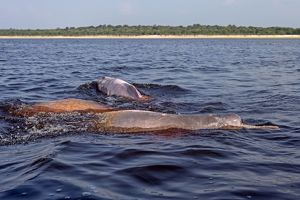 Amazon / Pink River Dolphin / Boto