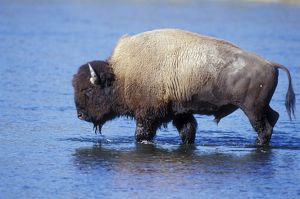 American Bison / Buffalo - in water