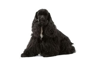 American Cocker Spaniel - black