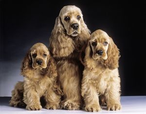 American Cocker Spaniel Dogs - 3 Sitting together