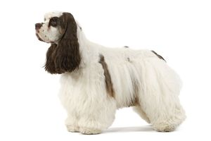 American Cocker Spaniel - standing