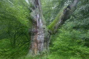 Ancient Oak Tree - In summer morning mist