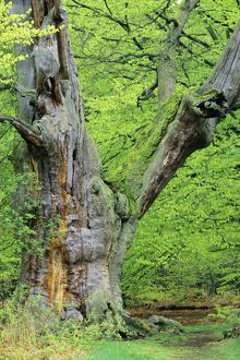 Ancient Oak Tree - four hundred years old