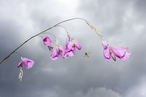 Angel's Fishing Rod flowers - with approaching Hover Fly and stormy sky