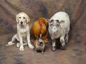 Animal Lineup - Dog, Chicken, Sheep, Rabbit