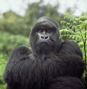 Ape: Mountain Gorilla - Silverback male