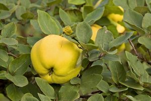 apple quince - ripe, yellow fruits of apple quince on a quince tree in autumn