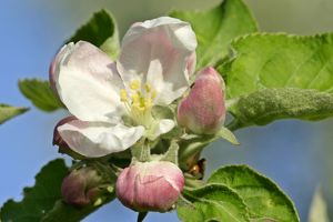 Apple tree blossoms - detail of flowering twig in spring