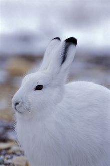 Arctic Hare sitting in tundra