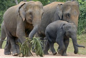 Asian Elephant: females with juvenile