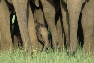 Indian / Asian ELEPHANTS - Herd with young