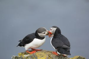 Atlantic Puffin - pair bill fencing