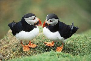 Atlantic PUFFINS - pair