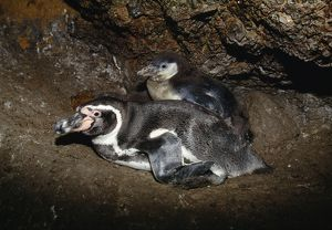 AU-1454 Humboldt Penguin - adult in nest with chick