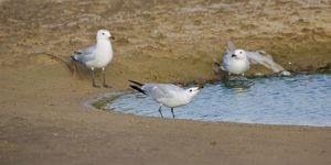 Audoiuns Gull - adults drinking fresh water