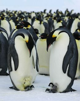 AUS-1929 Emperor Penguins - two adults - one with a chick on its feet - the other