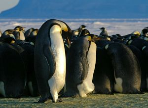 AUS-1934 Emperor Penguins - fat female that has been feeding at sea and lean male