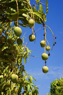 Australian Kensington Mango - orchard with immature mango fruits hanging in the trees