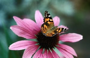 Australian painted lady butterfly - on Purple coneflower (Echinacea purpurea),