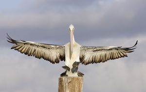 Australian Pelican - Coming to alight on a perch with wings outstretched