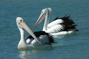 Australian Pelican - Common on large and small bodies of water, including temporary