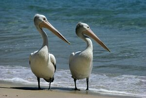 Pelicans (Selection of 498 Items)