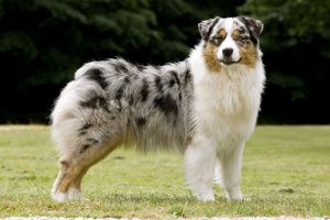 Australian Sheepdog / Shepherd Dog
