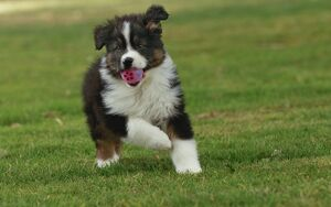 Australian Sheepdog / Shepherd Dog - with ball in mouth