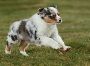 Australian Sheepdog / Shepherd Dog puppy
