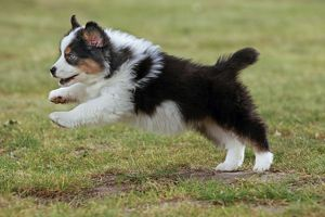 Australian Sheepdog / Shepherd Dog puppy running