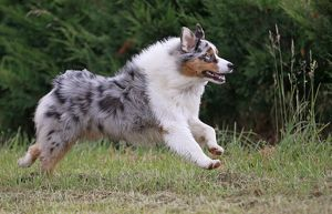 Australian Sheepdog / Shepherd Dog running