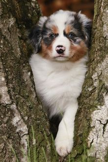 Australian Sheepdog / Shepherd Dog in tree